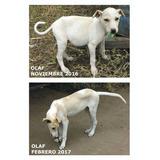 Galgos Cachorros Adopcion