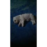 French Poodle 2 Meses Mini Toys 1 Hembra Y 2 Machos