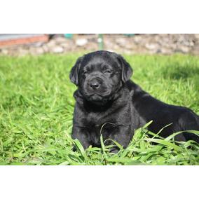 Cachorros Labrador Retriever #negros #selkans