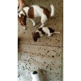Jack Russell Rusell Rusel Terrier Cachorros Yack Garantizad