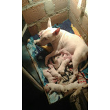 Cachorros Bullterrier Hembras Y Machos Disponibles