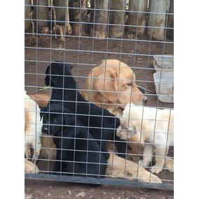 Golden Retriever Negro Precio Perros De Raza Otras Razas En