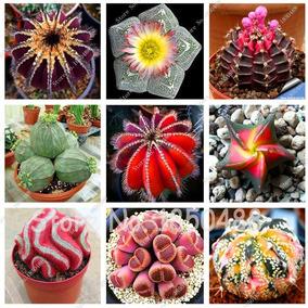 20 Sementes De Suculentas/cactos Polígono Várias Espécies***