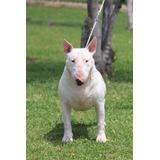 Bull Terrier Brinda Servicio De Monta