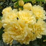 Rosas Lady Banks (banksiae Lutea) Vaso Com 1muda