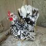 Ovos Galados De Mini Garnizé Aves Ornamentais.