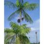 Mudas De Palmeira Jussara Juçara 25 Unidades