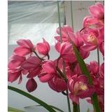 60 Sementes Orquídea Cymbidium Rosa P /mudas Bonsai Jardins
