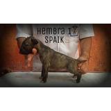 Cachorros Bull Terrier Ingles Pedigree