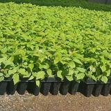 Plantas De Frambuesa