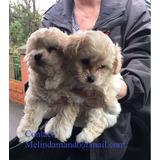 Malti Poo Puppies En Venta Ahora