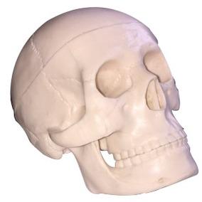Modelo Anatomico De Craneo Mini Enseñanza Educacion