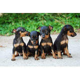 Pinscher (doberman Miniatura) Cachorritos Adorables
