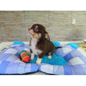 Chihuahua Machito Pelo Corto Y Largo Con Pedigree De Fca