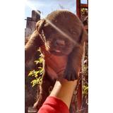 Vendo Cachorros Labrador Chocolate. Tucumán