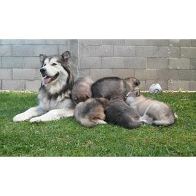 Cachorros Alaska Malamute, Linea Argentina