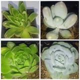 Cactus Y Suculentas Mini Por Mayoreo Pack De 60 Piezas