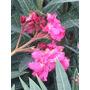 Plantas Cerco Vivo Perimetral Laurel De Flor Vivero