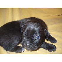 Cachorros Cane Corso Hembras Color Negros Con Pedigree