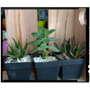 Souvenir Tunas, Cactus, Suculentas