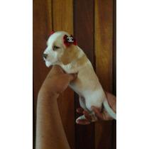 Filhotes De Beagle Bicolor