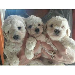 Cachorros Caniche Toy!!!!! Cuidados En Familia