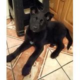 Adopción De Cachorro 3 Meses Chimuelo