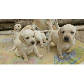 Cachorros Labradores Raza Pura