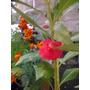 Semillas Flores Jardin Rosa Caracucha Mas Obsequio