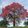 Promoção 2 Mudas Paineira Rosa Arvore Flores Tam. 30 Cm.
