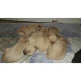 Cachorros Golden Retrivers