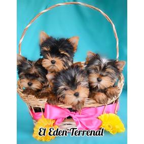 Cachorros Yorkshire Terrier