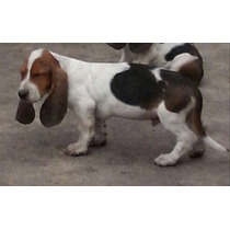 Cachorros Basset Hound Vacunados Y Desparacitados