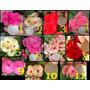 Coronas De Cristo (euphorbia Milii) Todos Los Colores
