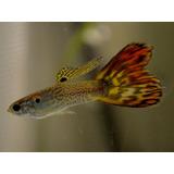 Lebistes - Guppys X Pareja | Cobra Snakeskin Rojo
