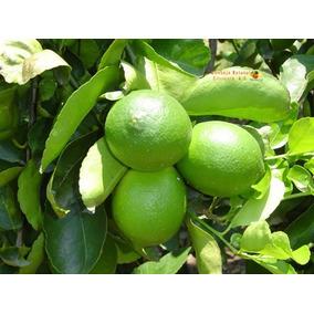 Limon Persa Injertos $75 (mayoreo Mas De 50 Arbolitos).