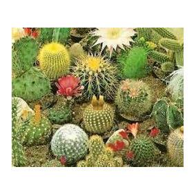 80 Sementes De Mini Cacto Sortidos - Jardins E Vasos