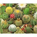 100 Sementes De Mini Cacto Sortidos - Jardins E Vasos