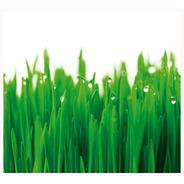 Semillas De Trigo Orgánico - Wheatgrass - Clorofila - X 1kg