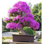 Cherry Pink Bonsai Japones Semillas Especiales Pretty Little