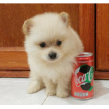 Cachorros Pomerania Micro Solo Dos Bebes De Ensueño Oferta