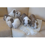Cachorritos Bulldog Ingles 100% Puros Gorditos