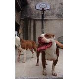 American Pitbull Terrier Para Monta Macho Legítimo