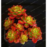 10 Sementes De Suculentas Rosa De Pedra Condessa Elizabeth