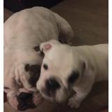 Vendo Filhotes Bulldog Ingles