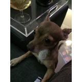Vendo Perrito Chihuahua De 2 Años Cabeza De Manzana