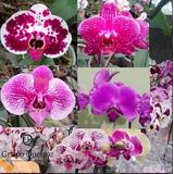 Orquídeas Phalaenopsis Mudas Exóticas Kit C/10 Und