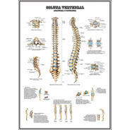 Poster Anatomia Coluna 65x100cm Decorar Clínica Escola Casa