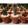 Cactus Miniatura En Minimaceta Barro Caja 100pzas