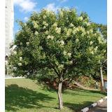 Alfeneiro - Ligustro - Árvore Sombra - Bonsai - Muda